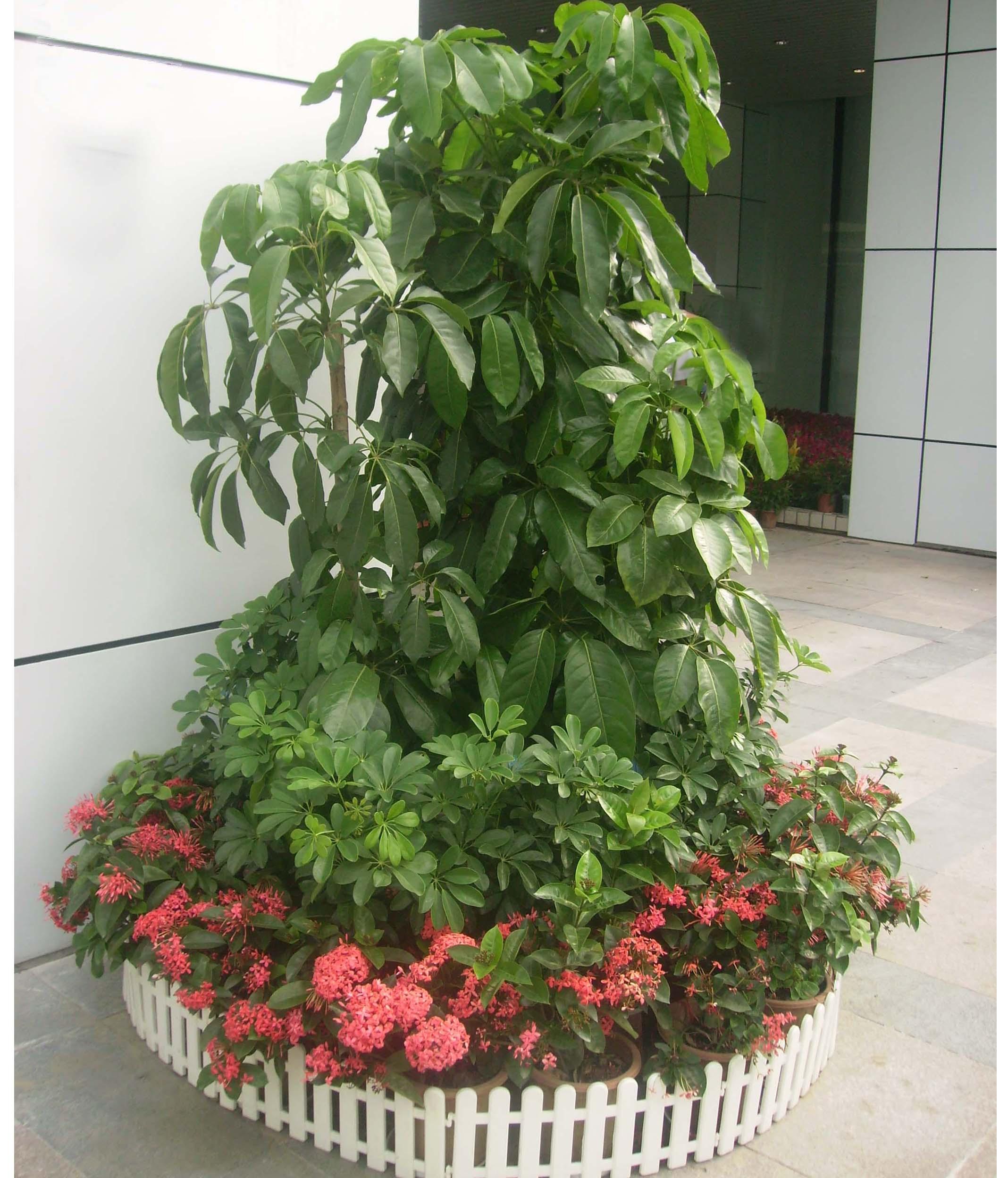 招财树 提供广州花卉 花木 植物租赁服务020 高清图片