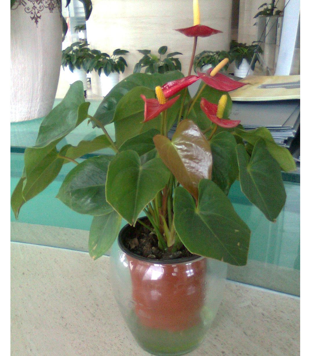 水养富贵竹_水养植物有哪些 水养植物有哪些